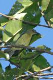Sunbird, Red-throated (female)