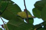 Iora, Green (male)