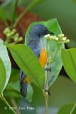 Flowerpecker, Orange-bellied (male)