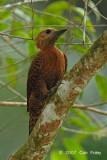 Woodpecker, Rufous (female)