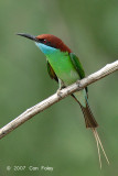 Bee-eater, Blue-throated @ Changi