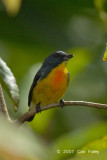 Flowerpecker, Yellow-rumped (male) @ Sg Resang