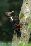 Woodpecker, Orange-backed (female)