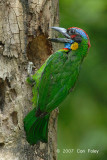 Barbet, Red-crowned
