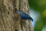 Nuthatch, Velvet-fronted (female)