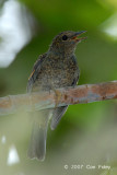 Flycatcher, Pale Blue (juvenile)