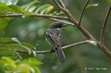 Flycatcher-shrike, Bar-winged (female)