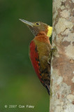 Woodpecker, Checker-throated (male)