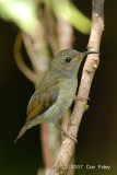 Sunbird, Black-throated (female) @ Jln Lady Maxwell