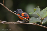 Minivet, Grey-chinned (male) @ The Old Road