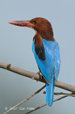 Kingfisher, White-throated @ Changi Cove