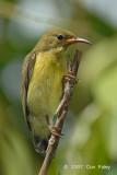 Sunbird, Purple-Throated (juvenile) @ Pulau Ubin