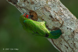 Barbet, Blue-eared