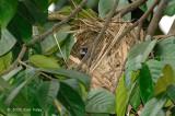 Munia, White-rumped (in nest)