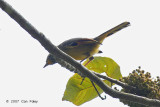Minla, Chestnut-tailed @ Cameron Highlands