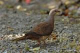 Dove, Barred Cuckoo