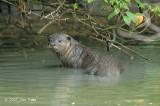 Smooth-coated Otter @ Kuala Gula