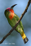 Bee-eater, Red-bearded (male)