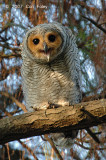 Owl, Spotted Wood (juvenile) @ Japanese Gardens