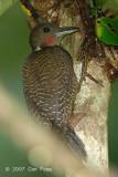 Woodpecker, Buff-necked (male)