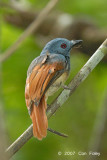 Philentoma, Rufous-winged (male) @ Camping Grounds