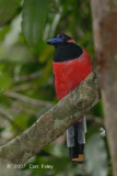 Trogon, Diard's (male) @ Teresek Trail