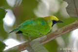 Leafbird, Blue-winged (male) @ Lubok Simpon