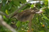 Bulbul, Red-eyed @ Camping Grounds