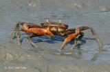 Crab @ Kuala Gula