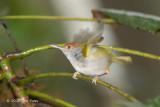 Tailorbird, Common