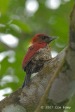 Woodpecker, Banded (female)