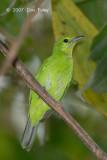 Leafbird, Lesser Green (female)