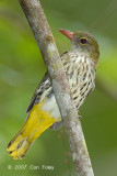 Oriole, Dark-throated (female)