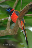 Trogon, Red-naped (male)