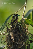 Broadbill, Black-and-yellow (on nest)