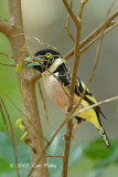 Broadbill, Black-and-yellow (with nesting material)