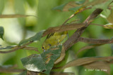 Iora, Green (female)