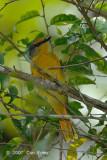 Minivet, Scarlet (female)