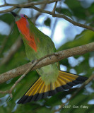 Bee-eater, Red-bearded (male - displaying)