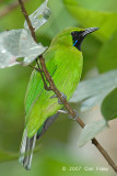 Leafbird, Greater Green (male)