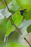 Leafbird, Greater Green (male) @ Panti