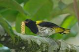 Oriole, Dark-throated (male)
