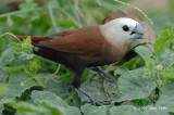 Munia, White-headed @ Changi