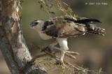 Eagle, Martial (immature)