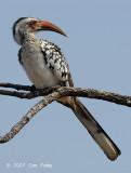 Hornbill, Red-billed (male)