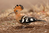 Hoopoe, African