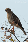 Goshawk, Gabar (immature female)