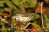 Sunbird, Whitebellied (female)