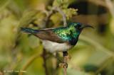 Sunbird, Whitebellied (male)