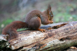 RED SQUIRRELS AT FORMBY POINT